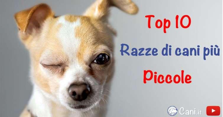 Top 10 delle razze di cani pi piccole for Nomi per cagnolini di piccola taglia