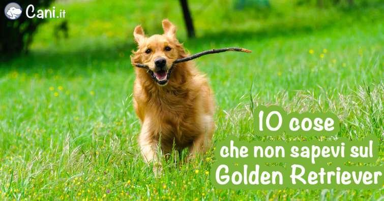 9 Cose Che Non Sapevi Sul Golden Retriever