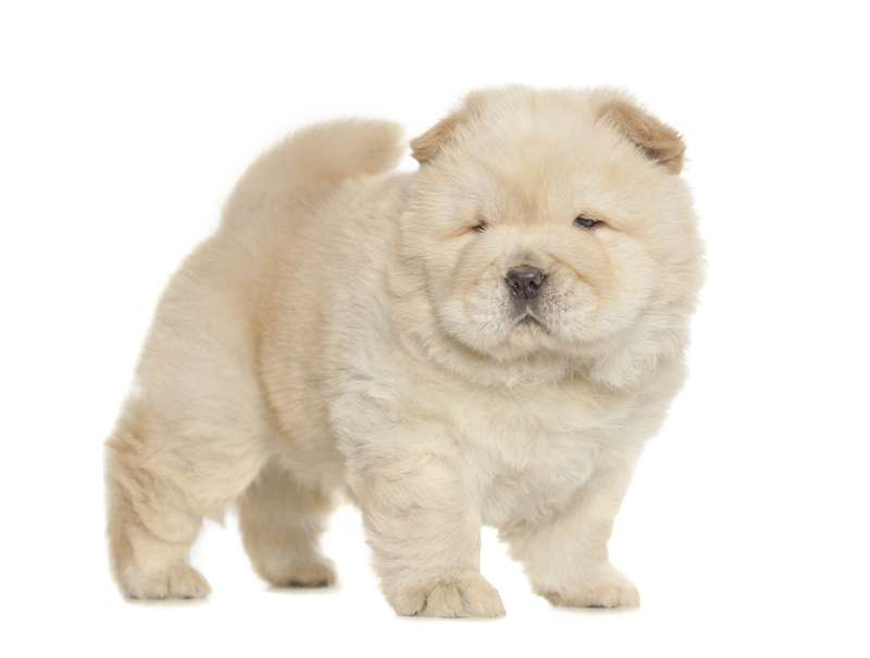 Cucciolo di Chow chow
