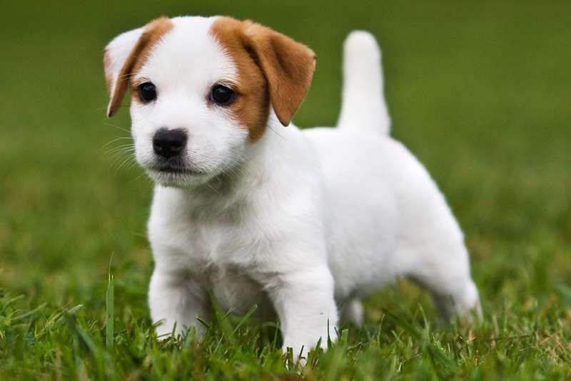Jack Russel Terrier Scheda Razza Cane Su Caniit