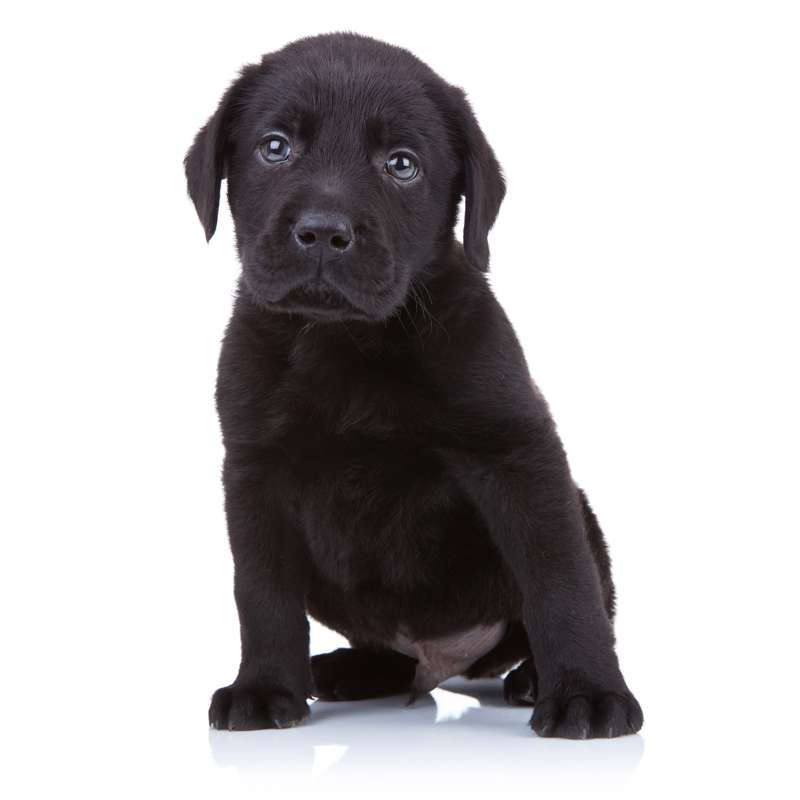 Cucciolo di Labrador retreiver