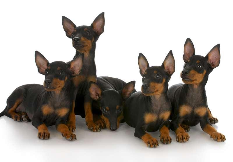 Gruppo Manchester Terrier