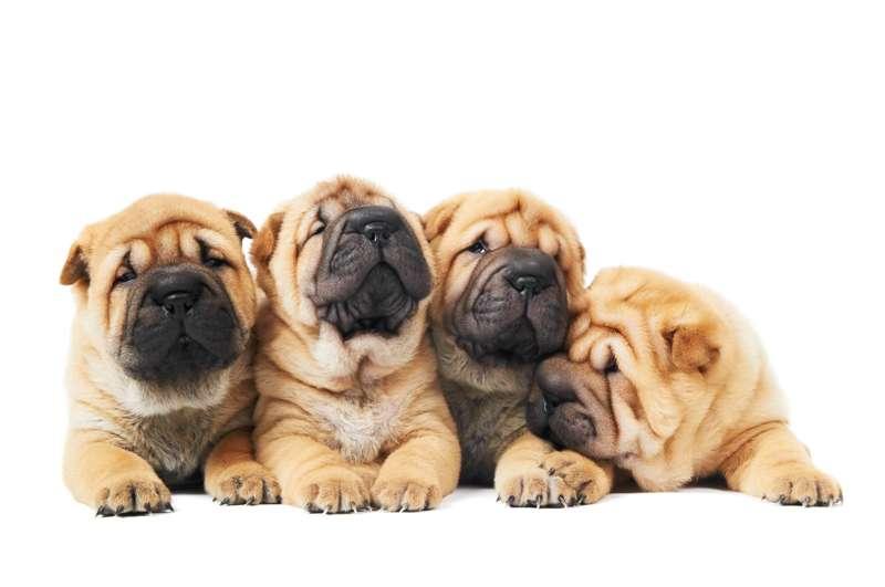 Cuccioli di Shar Pei