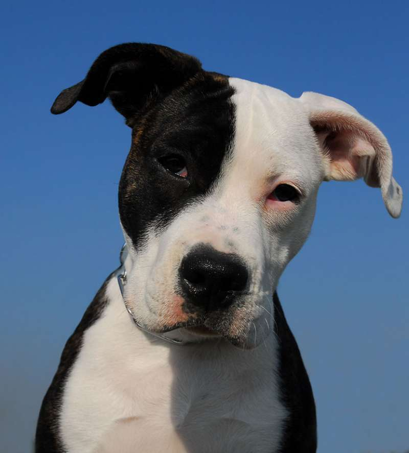 American Pit Bull Terrier Pit Bull Scheda Cane