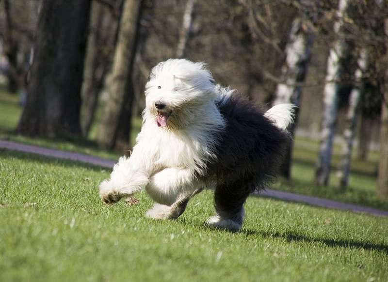 Bobtail corre al parco