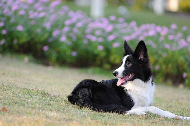 Border collie sul prato