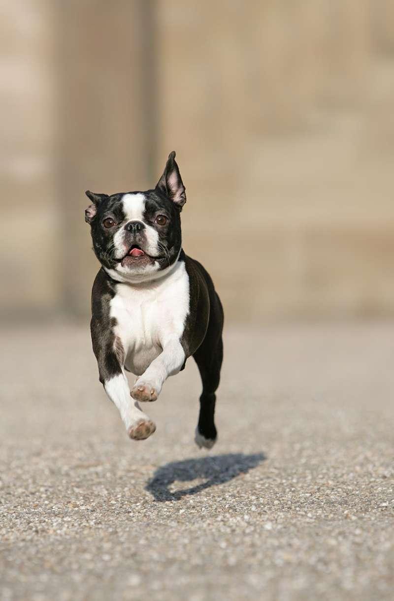 Boston Terrier Scheda Razza Su Cani It