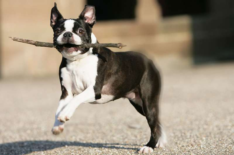 Boston Terrier con bastone