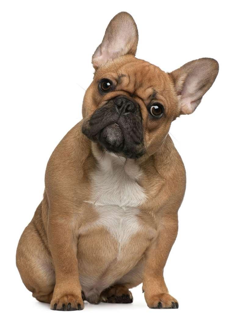 Bulldog Francese O Bouledogue Francese Scheda Razza Su Caniit