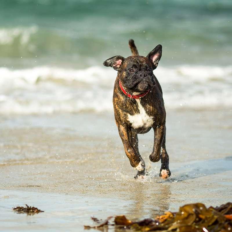Boxer tigrato corre in riva al mare