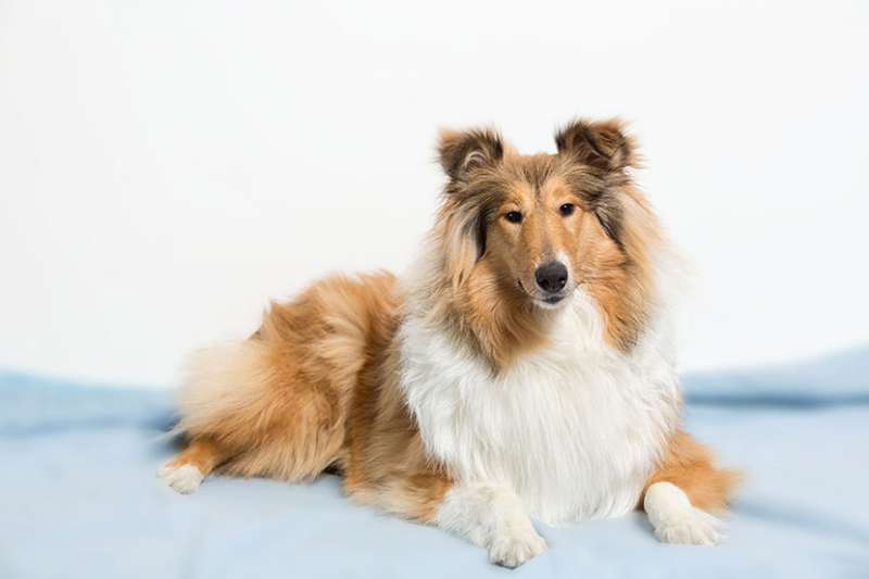 Cane da pastore scozzese a pelo lungo (Collie Rough)