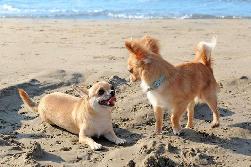 Chihuahua al mare