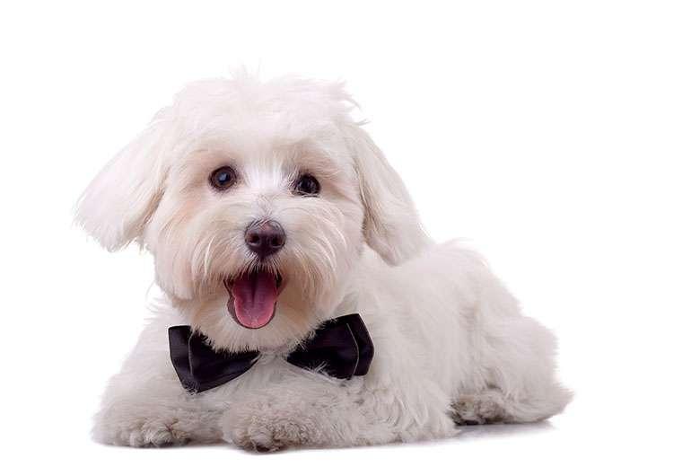 Maltese scheda razza cane for Cane razza maltese