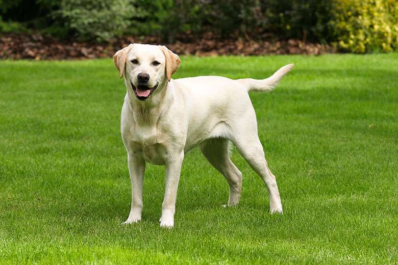 Labrador Retriever giallo