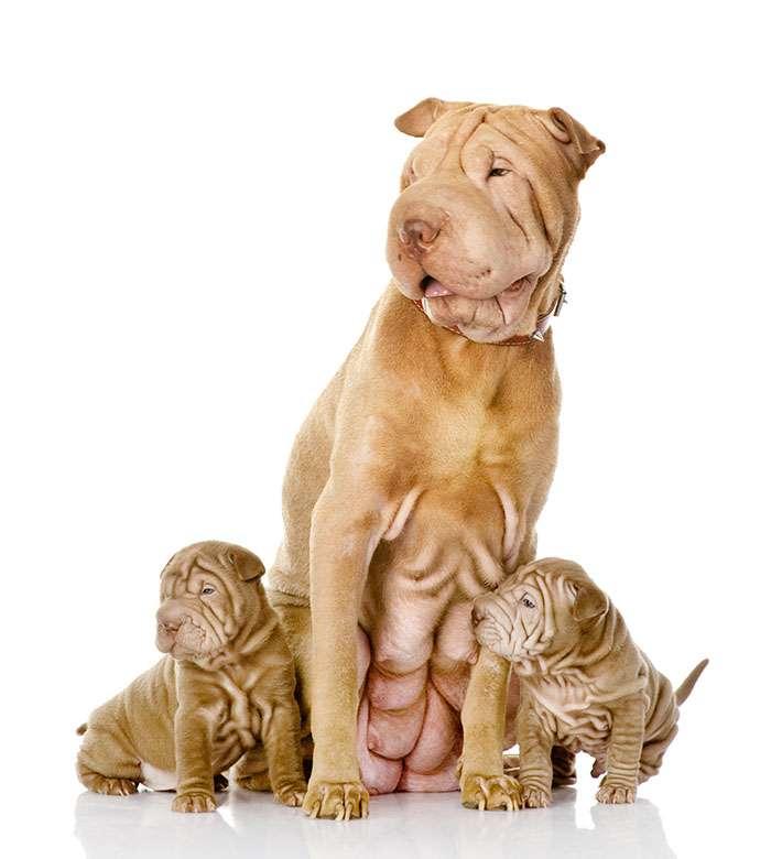 Shar Pei mamma con cuccioli