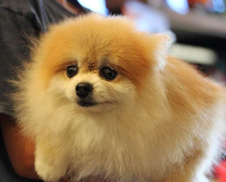 Volpino di pomerania tutte le informazioni sulla razza for Cani pomerania