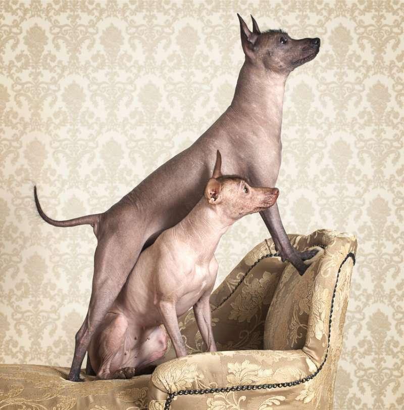 Due Xoloitzcuintle sulla poltrona