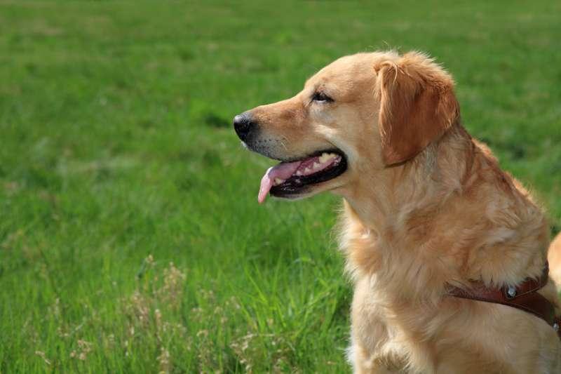 Labrador color crema