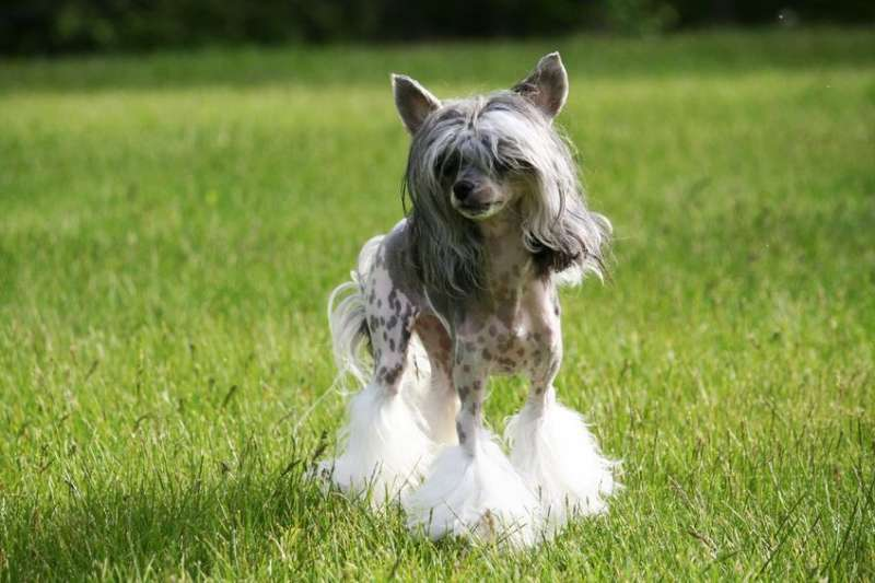 Chinese Crested Dog sul prato