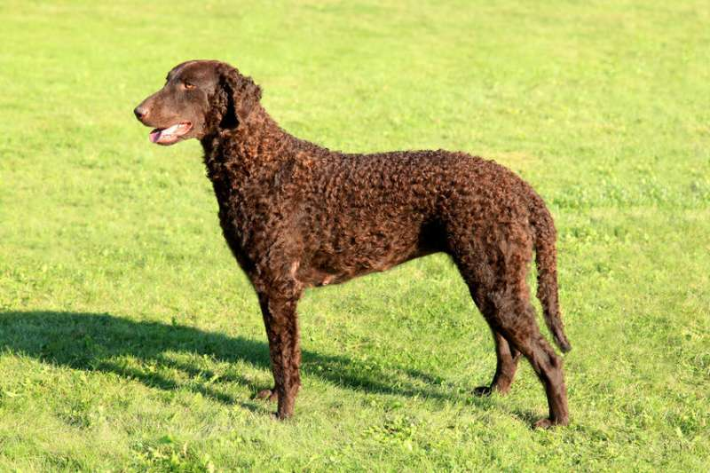 Curly Coated Retriever marrone
