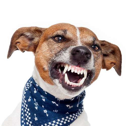 Jack Russell Terrier aggressivo