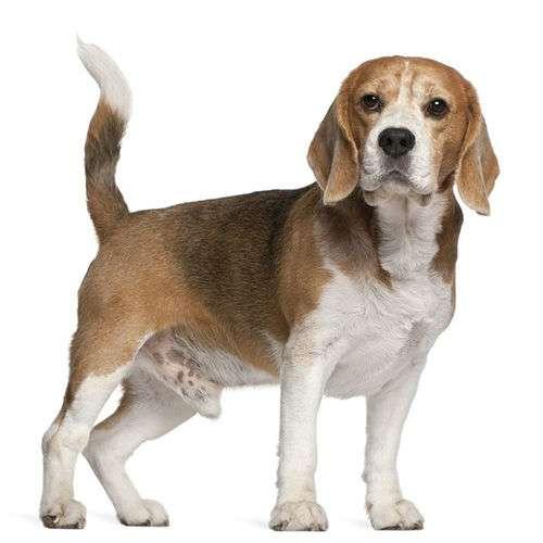 Piccolo beagle