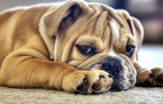 Bulldog sdraiato sul pavimento