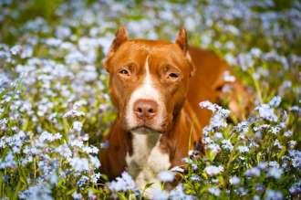 Pit bull in campo fiorito
