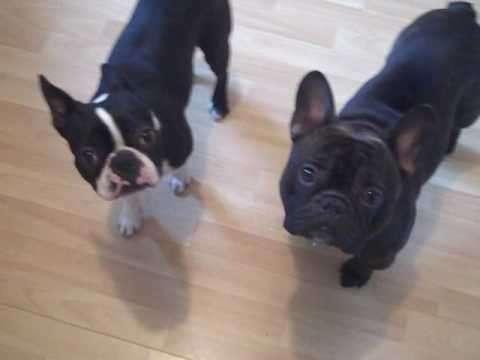 Boston Terrier vs Bull...