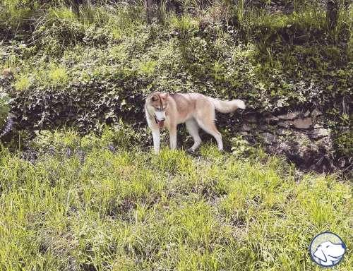 Gruppo Siberian Husky