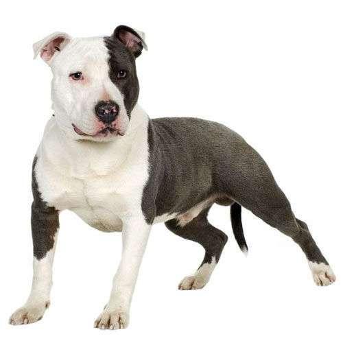 Gruppo American Staffordshire Terrier Amstaff Amastaff