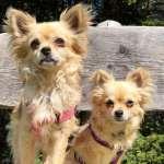 Chihuahua razza canina pi piccola al mondo for Razza del cane di tequila e bonetti