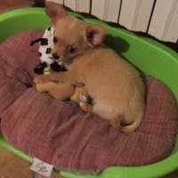 Top 10 delle razze di cani pi piccole for Razza del cane di tequila e bonetti