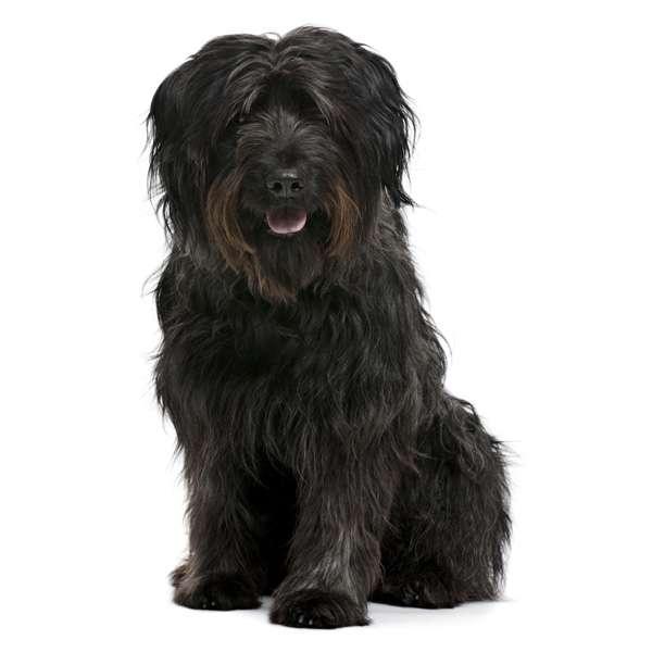 Cane da pastore catalano a pelo lungo