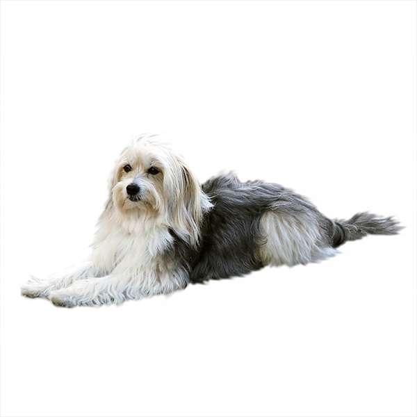 Cane da pastore catalano a pelo corto