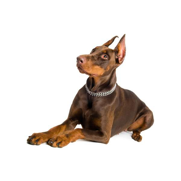 Dobermann marrone focato