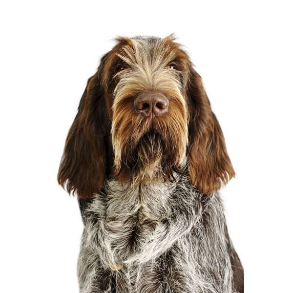 Spinone italiano roano marrone