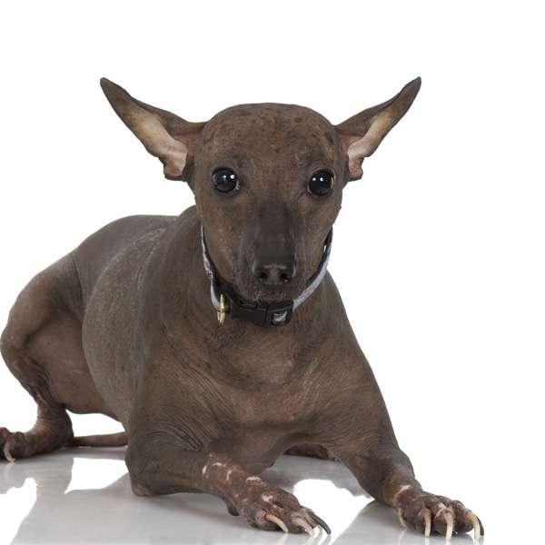 Perro sin pelo del peru' medio