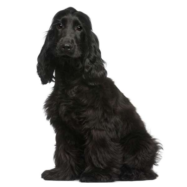 Cocker spaniel inglese nero