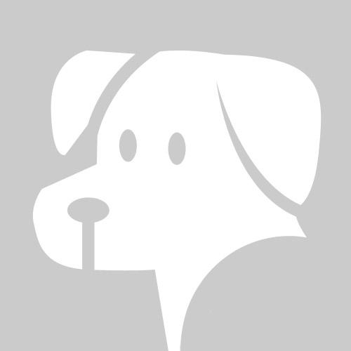Cane da pastore mallorquin a pelo corto