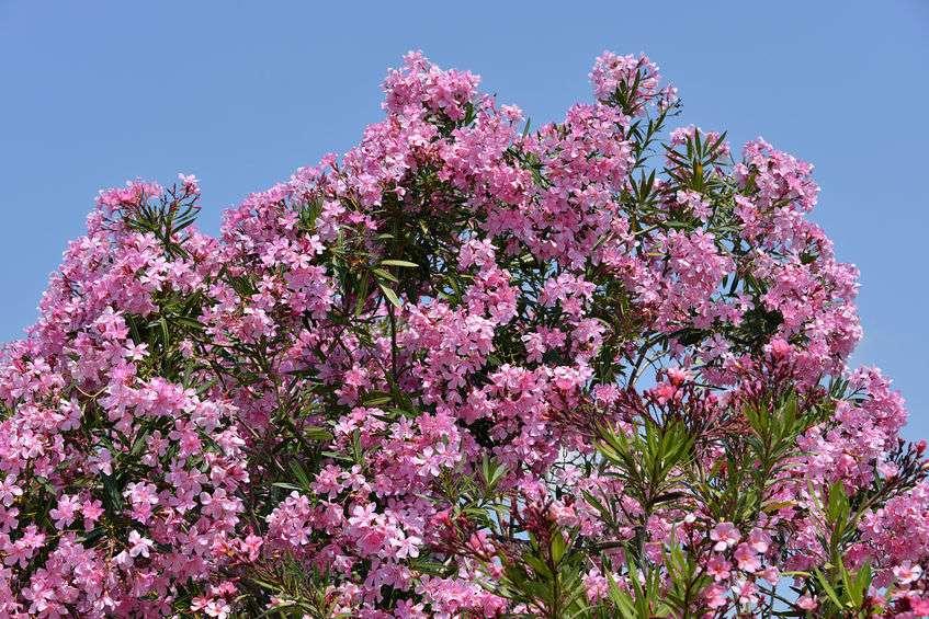 Nerium oleander oleandro pianta tossica per cani for Piante velenose per i cani