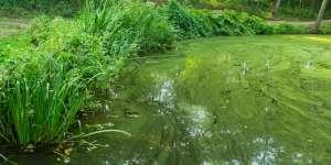 Alghe blu-verdi