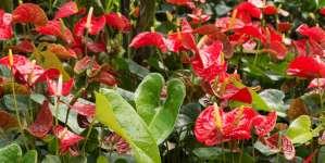Fiore fenicottero