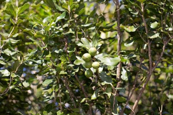 Macadamia integrifolia noci di macadamia pianta for Pianta di noci