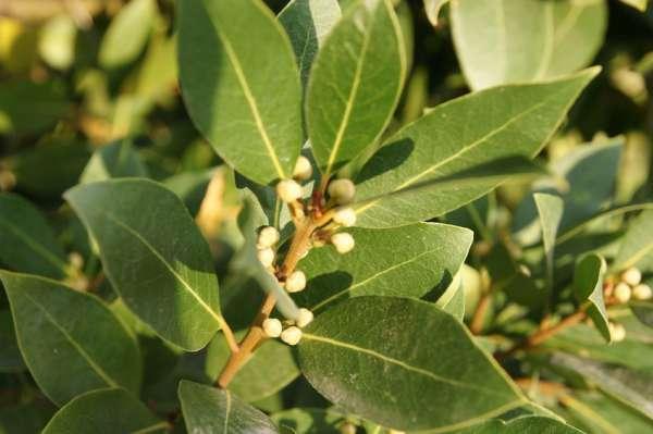 Laurus nobilis alloro pianta tossica per cani for Pianta di alloro