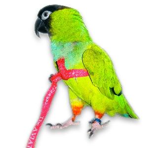peso pappagallo del senegal