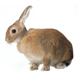 Collare Elisabettiano per Conigli