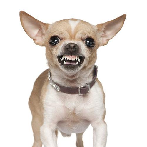 Chihuahua aggressivo