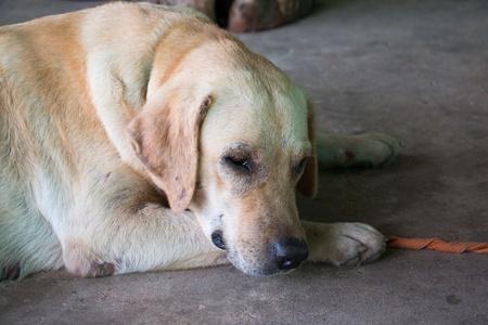 i cani sanno nascondere il dolore