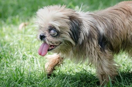 controlloare gli occhi al cane anziano